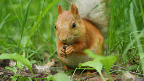 Den röda ekorren gnag skickligt muttrar i parkera Arkivbilder
