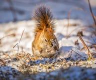 Den röda ekorren i snö tappar mat fotografering för bildbyråer