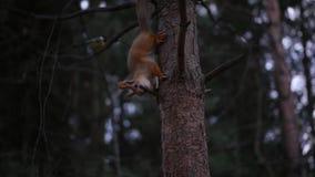 Den röda ekorren kör längs stammen av ett träd i höstskogen HD, 1920x1080, ultrarapid stock video