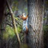 Den röda ekorren klättrar ett träd i skogen på en grön bakgrund Grå orange päls En liten gnagare med den fluffiga svansen V?r arkivfoton