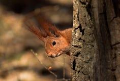 Den röda ekorren nära träd i skogen royaltyfri fotografi