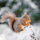 Den röda ekorren sätta sig på snö täckt trädstubbe Royaltyfria Foton