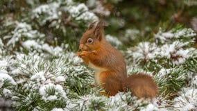 Den röda ekorren sörjer in trädet Royaltyfria Foton