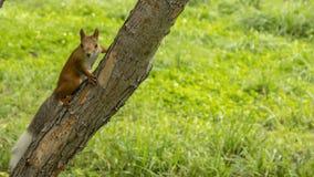 Den röda ekorren ser in i kameran med en trädfilial arkivbild