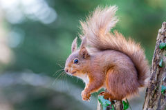 Den röda ekorren ser på Royaltyfria Foton