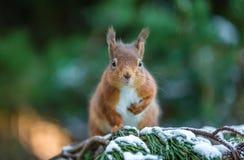 Den röda ekorren som in poserar, sörjer trädet Arkivfoton