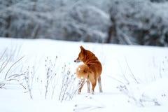 Den röda eskimåen förföljer Fotografering för Bildbyråer