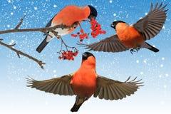 Den röda fågeln gå i ide i den trädgårds- blåa himlen och snöar stock illustrationer