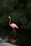 Den röda flamingo går på vatten. Arkivfoton