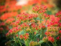 Den röda flammande Katy Flowers Blooming royaltyfri fotografi