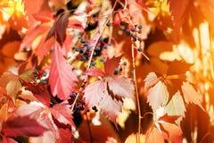 Den röda flickaktiga druvan lämnar på suddigt lövverkbakgrundsslut upp, den guld- sidamakroen för hösten, varm natur för solig da royaltyfri bild