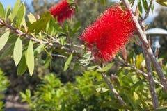 Den röda fluffiga blomman av Callistemon med gräsplansidor under solen rays arkivfoto
