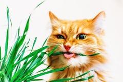 Den röda fluffiga katten äter gräs på vit bakgrund Royaltyfri Bild