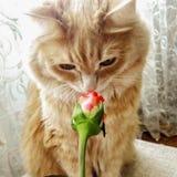 Den röda fluffiga katten luktar en rosknopp royaltyfria foton