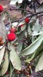Den röda frukten arkivbild