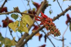 Den röda frukten på trädet Arkivbild