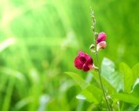 Den röda gräsblomman Royaltyfria Bilder