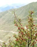 Den röda granatäpplet bor på höglands- område arkivbild