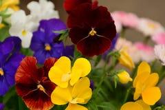 den röda gula blåa vita färgrika blomman i trädgården sken på solen royaltyfri foto