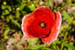 Den röda härliga blomman parkerar arkivbilder