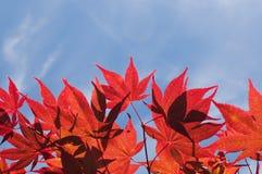 Den röda hösten lämnar mot blåttskyen royaltyfri fotografi
