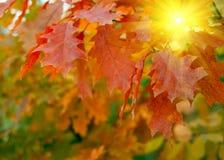 Den röda hösten låter vara bakgrund Royaltyfria Bilder