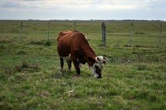 Den röda Hereford korskon i betar i Valizas, Rocha, Uruguay arkivbilder