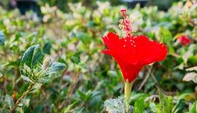 Den röda hibiskusblomman Arkivfoto