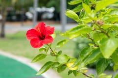 Den röda hibiskusen blommar i trädgården Fotografering för Bildbyråer