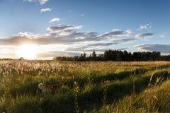 Den röda hunden kör på spåret över fältet som tänds av solen Arkivbilder