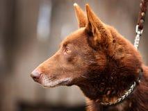 Den röda hunden med guling synar på utomhus royaltyfri bild