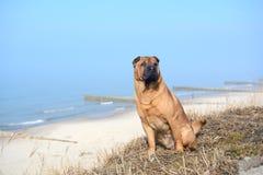 Den röda hunden Shar Pei sitter på stranden arkivbilder