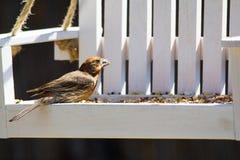 Den röda husfinken sätta sig på trägungafågelförlagematare Liten röd och brun fågel Arkivbild