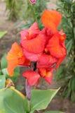 Den röda irins vilar och värma sig i den varma solen Röd iris på ett ljust - grön isolerad bakgrund fotografering för bildbyråer