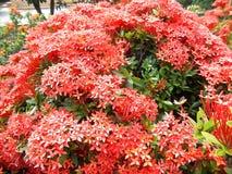 Den röda ixoraen blommar på trädet Royaltyfria Foton