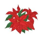 Den röda julstjärnaväxten med sidor och bracts räcker dragit med konturlinjer på vit bakgrund Elegant julferie royaltyfri illustrationer