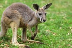Den röda kängurukvinnlign (Macropusrufusen) Royaltyfri Bild
