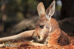Den röda kängurun på vilar Royaltyfri Bild