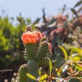 Den röda kaktuns för det taggiga päronet blommar och slår ut i fläckigt solljus fotografering för bildbyråer