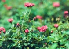 Den röda kaskadminiatyrrosen födde upp av röda mini- rosor arkivbilder
