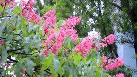 Den röda kastanjen blommar closeupen, naturmångfald, stock video