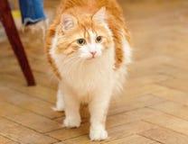 Den röda katten är i spänning Fotografering för Bildbyråer