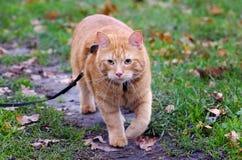 Den röda katten går i höstgräset på en koppel Arkivfoto