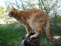 Den röda katten går i natur Härligt djur som poserar i fotografering för bildbyråer