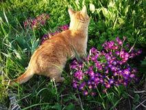 Den röda katten går i natur Härligt djur som poserar i arkivfoton