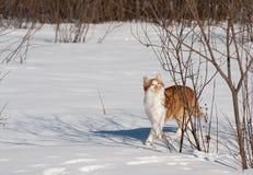 Den röda katten går vinter royaltyfria foton