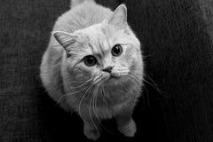 Den röda katten ser in camera Royaltyfri Foto