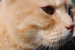 Den röda katten ser in i evighet tät framsida s för katt upp filosofiskt royaltyfria bilder