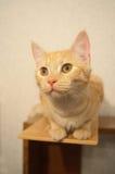 Den röda katten ser uppmärksamt på Royaltyfri Foto