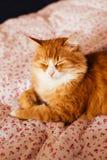 Den röda katten sover på sängen Fotografering för Bildbyråer